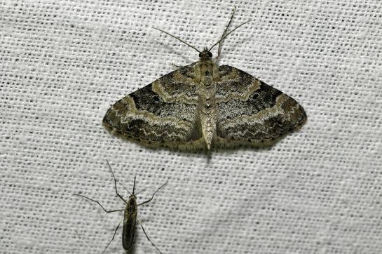 P.sexalata