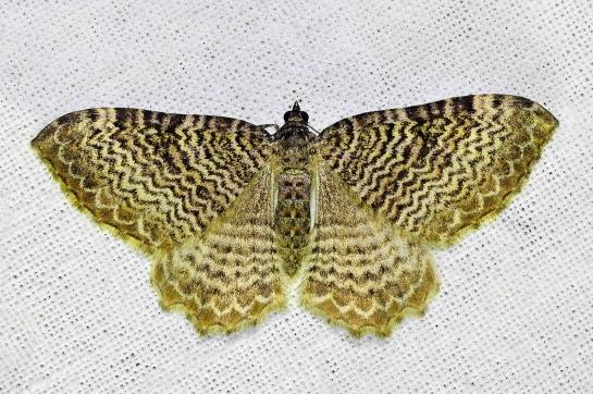 R.undulata