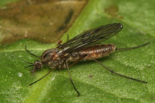 S.fenestralis
