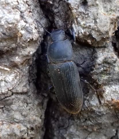 T.opacus
