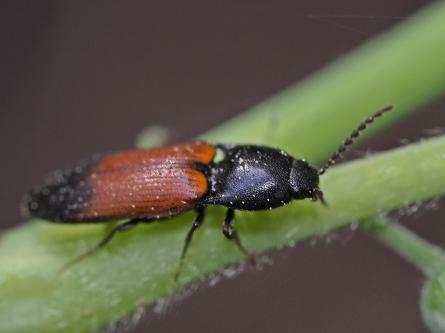 A.balteatus