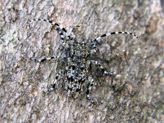 A.clavipes