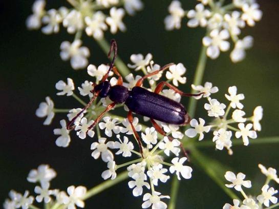 A.nigrica