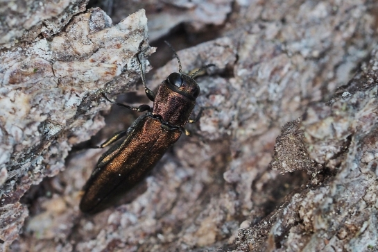 A.sulcicollis