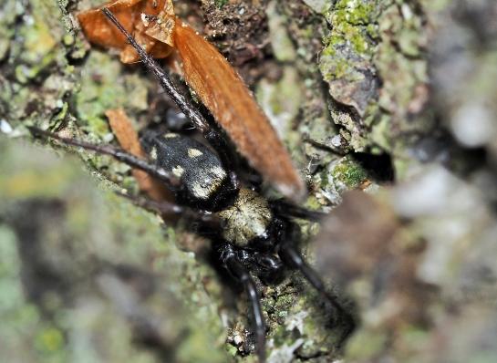 C.nocturna