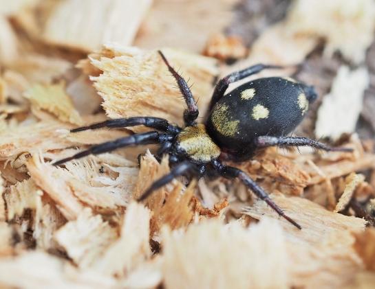 C. nocturna.