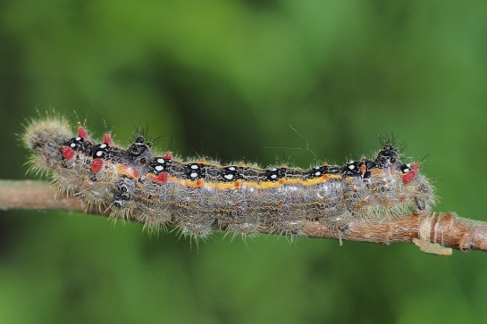 Clostera caterpillar.