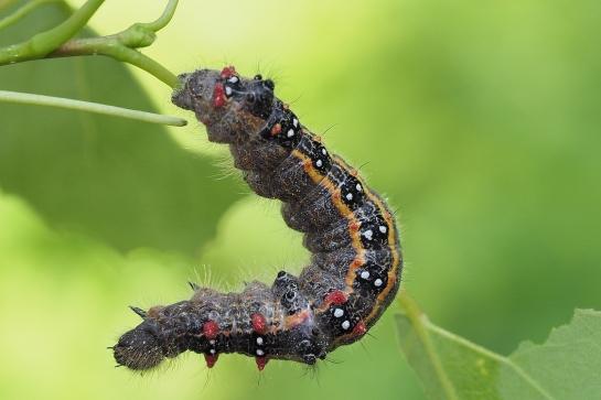 Clostera caterpillar