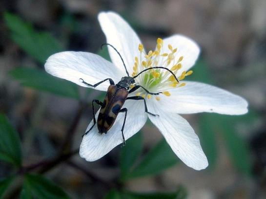 E.borealis