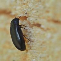 Dermestidae - Skórnikowate