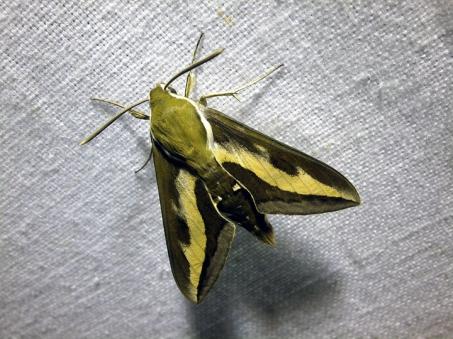 H.gallii