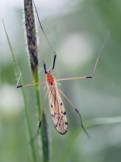 L.phragmatidis