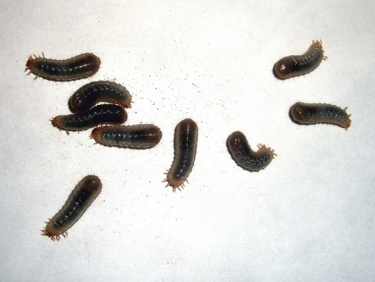 Larvae