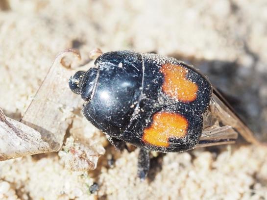 M.bipustulatus