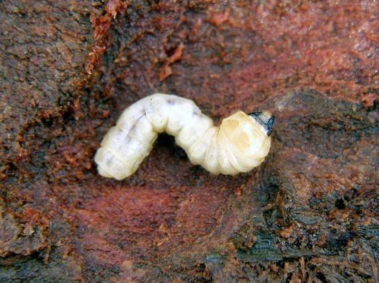 Monochamus larva