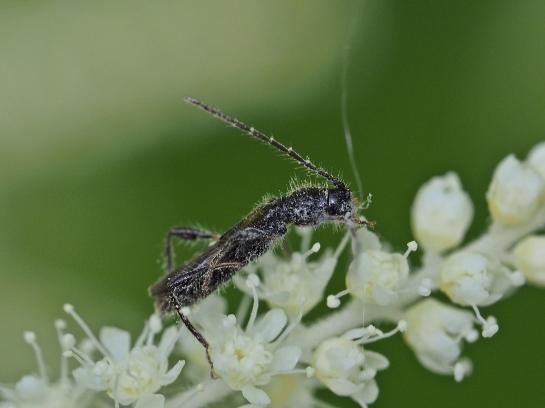 G.umbellatarum