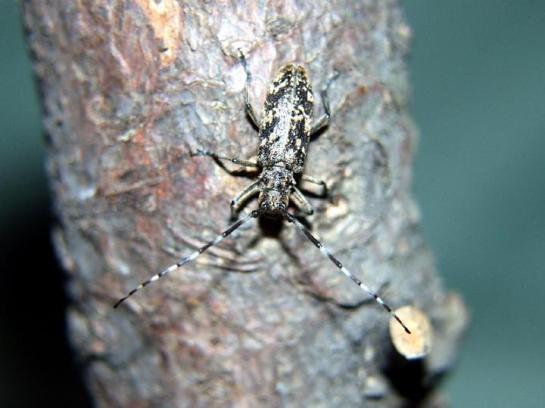 M.saltuarius