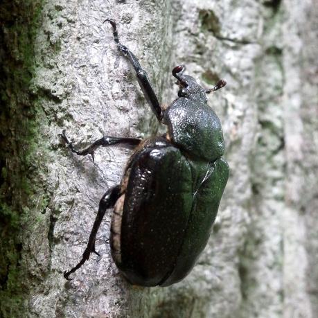O.barnabita female