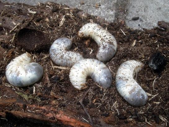 O.barnabita larvae
