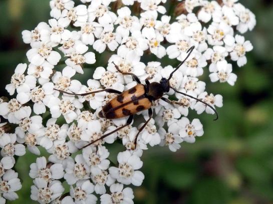 P.erraticus