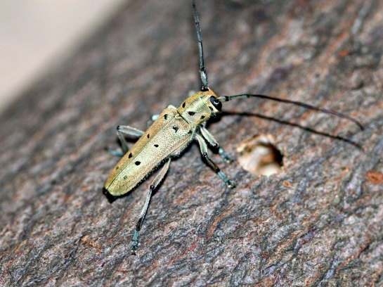 S.octopunctata