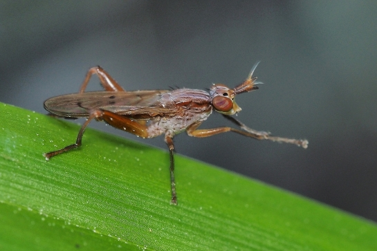 S.spinipes