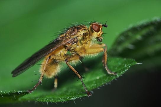 S.stercoraria
