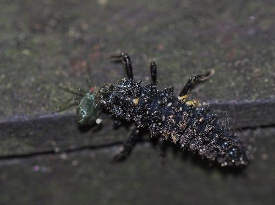 A.ocellata