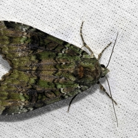 Noctuidae - Sówkowate