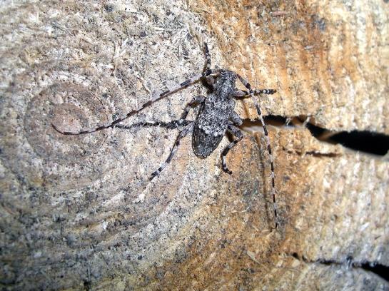 A.reticulatus male