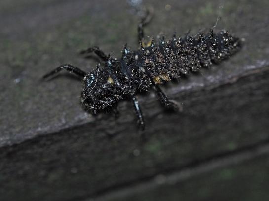 Anatis larva