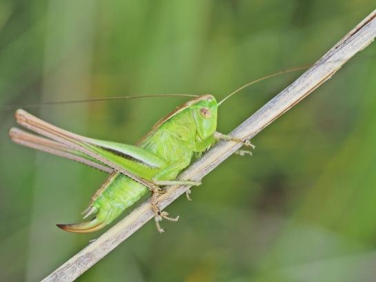B.bicolorana