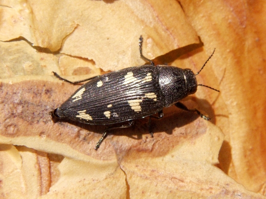 B.novemmaculata