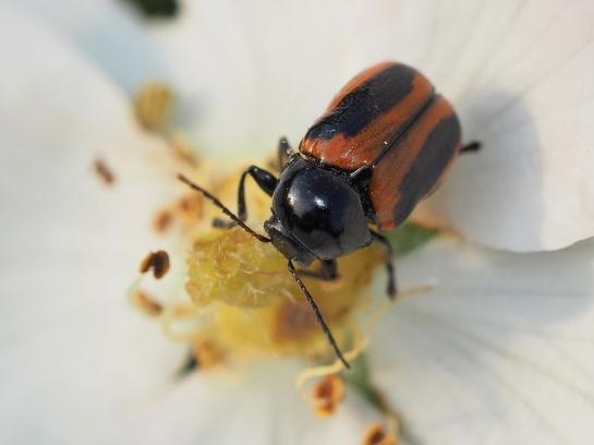 C.bipunctatus