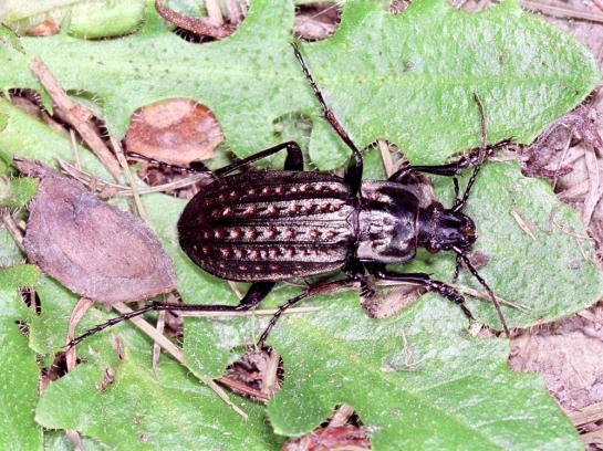 C.clathratus