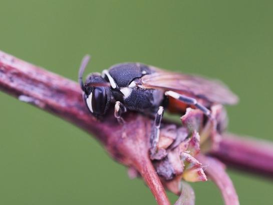 H variegatus female