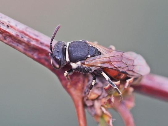 H variegatus