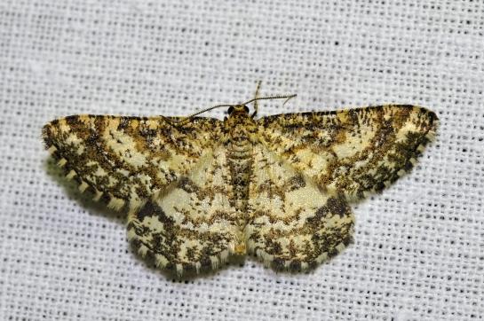 Hel. glarearia