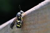 Leucospis female