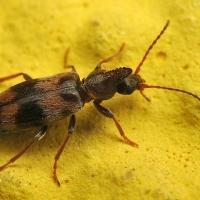 Anthicidae - Nakwiatkowate
