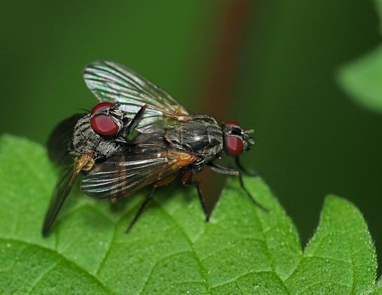 Phaonia mating