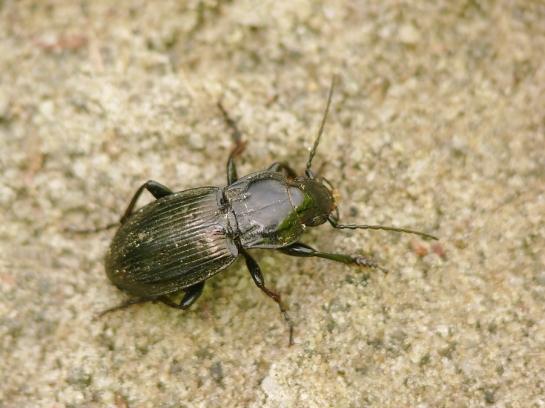 Pt. foveolatus