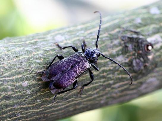 R.ungaricus female
