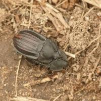 Silphidae - Omarlicowate