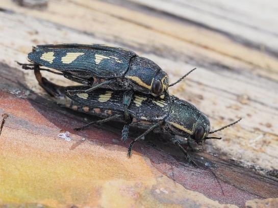 B novemmaculata in copula