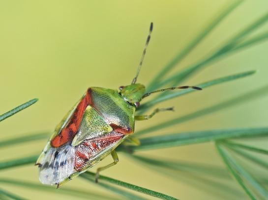 C tristriatus