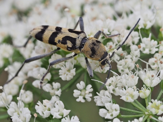 C.varius
