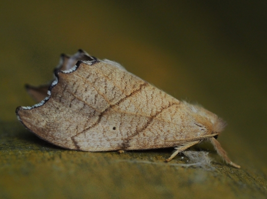 F.lacertinaria