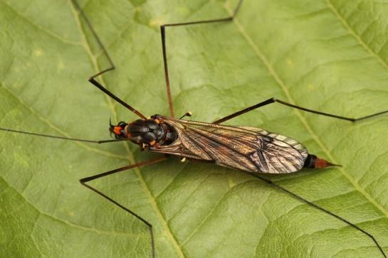 N.crocata
