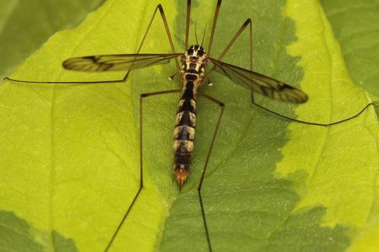 N.quadrifaria